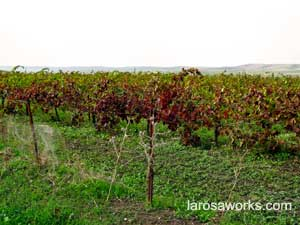Vineyards, as far as the eye can see. These are red grape vines after the harvest.