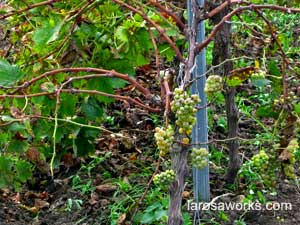 The rebellious small grapes, maturing in their own time, post harvest.
