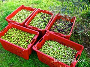 The morning's harvest of olives